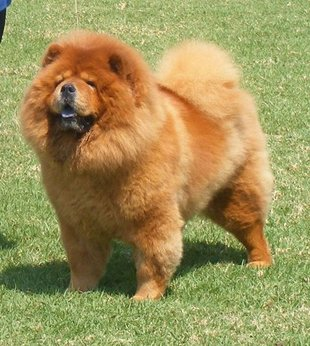 Should I Shave My Chow Chow Chow Chows Of Consistant